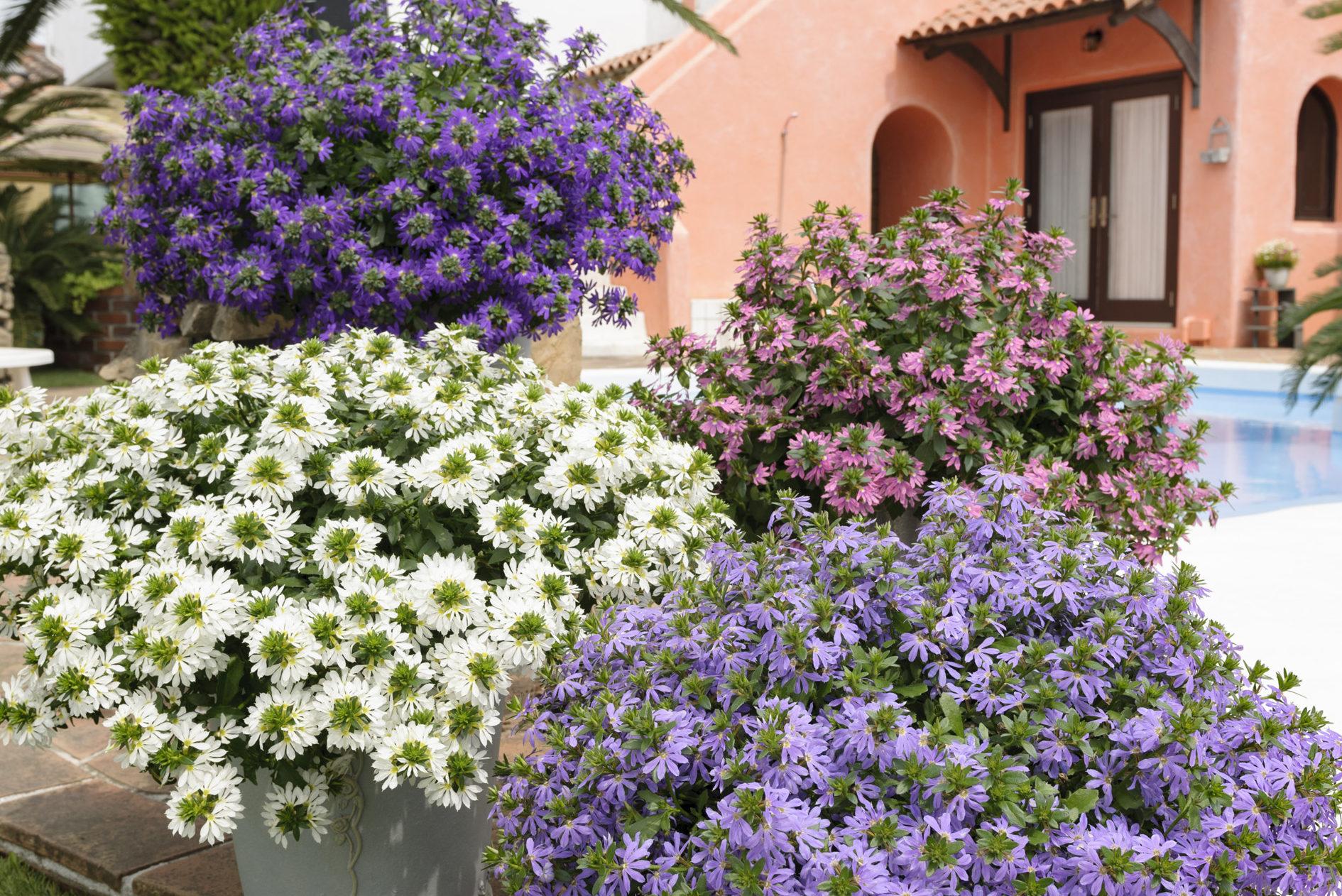 ブルーやホワイト、ピンクと涼しげな色合いがそろうサンク・エールは、暑さに強い夏の新定番です。真夏でも満開が続き、夏を超えて、なんと10月下旬まで花が咲いてくれます! 5月中旬から店頭に並び始めるので、暑さが本格化する前の今の時期に植えておくと、初秋まで長くお花が楽しめますよ♪
