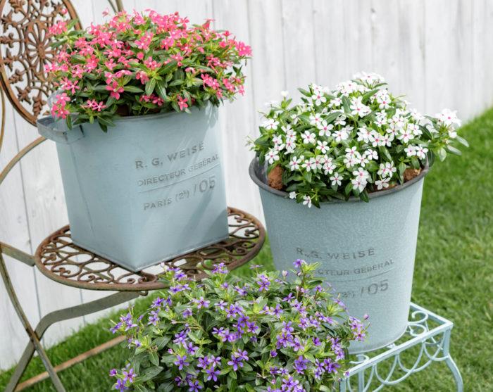 小さく愛らしいお花を咲かせてくれるのが、ニチニチソウのフェアリースターです。花が株全体を覆うように咲きほこるので、小さな苗でも存在感が抜群! スペースが狭い玄関やベランダなどでも楽しめます。