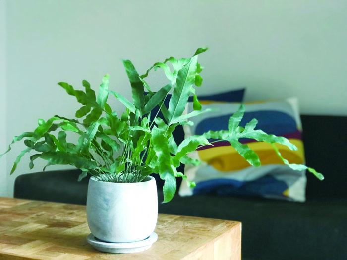 マットな質感の葉が珍しいシダ植物。葉が青みがかていることもありブルースターという名の観葉植物でも流通しています。生育旺盛な植物です。