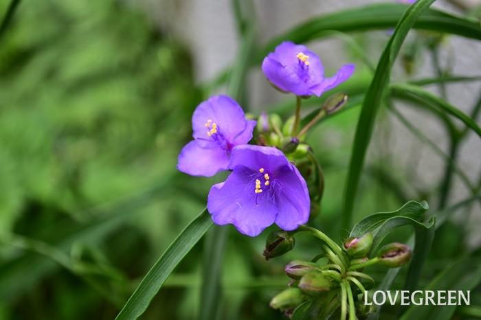 6月の花 露草