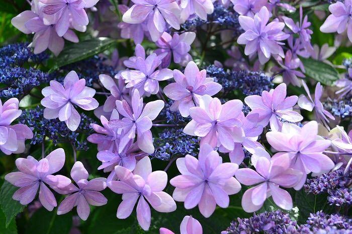 アジサイは5~7月にかけて青、紫、ピンク、白、グリーン、複色の花が開花します。