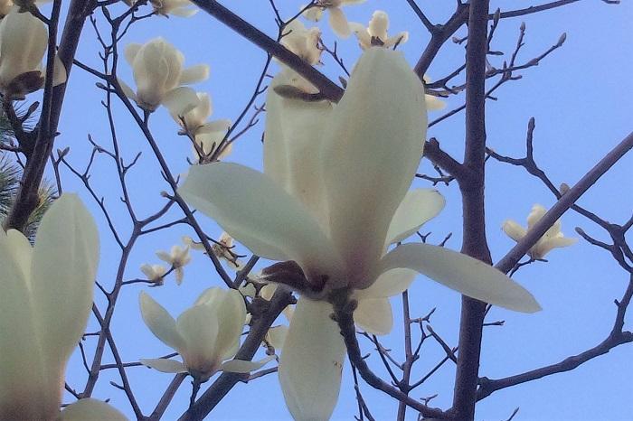 植物名:マグノリア 学名:Magnolia 科名:マグノリア(モクレン)科 分類:常緑または落葉の高木、低木 マグノリアの特徴 マグノリアとは、マグノリア(モクレン)科の総称です。マグノリア(Magnolia)の名前の由来は、フランスの植物学者マニョール(P.Magnol)によるとされています。  マグノリアは日本、ヒマラヤ、マレーシア、北アメリカ、熱帯アメリカなどに分布しています。マグノリアの仲間には日本でも馴染みの深い、シモクレンやハクモクレン、タイサンボクなどがあり、いずれも香りのよい特徴的な花を咲かせます。
