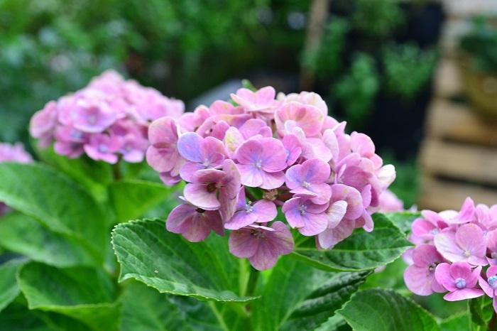 鉢植えのアジサイは1~2年に1回、一回り大きな鉢に植え替えましょう。