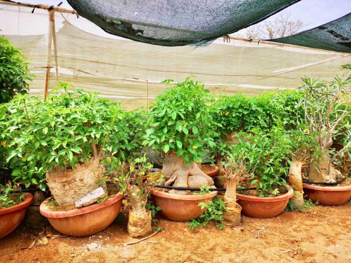 こちらは欧州で見かけることができるバオバブの盆栽タイプである。魅力的な形状のものが多い。幹が太いものは背も高くなってしまうバオバブだが、中にはこのようにアフリカバオバブの魅力的なシルエットをそのままにして全体を小型化したような愛くるしいものが存在する。このような形になる場合があるのは「Adansonia digitata(アダンソニア ディギタータ)」だけの特徴かもしれない。