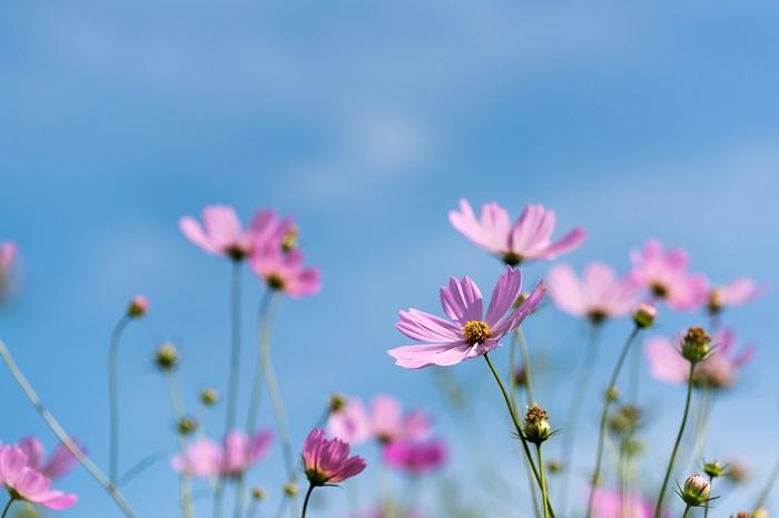 コスモスの花の咲く季節は秋です。コスモスは短日性といって、日が短くなると開花する性質の草花です。