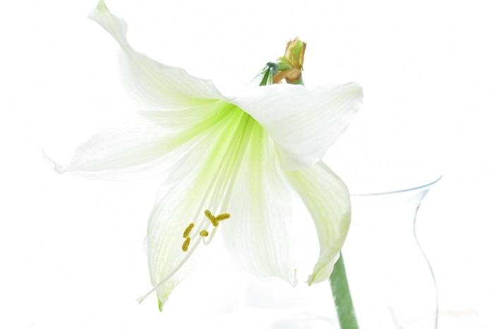 アマリリスは切り花でも流通しています。通年流通はありますが、種類も量も増えるのは冬です。アマリリスの切り花を楽しむためのコツを紹介します。
