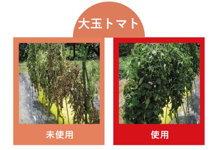 上の写真はストレスブロック未使用/使用それぞれの場合で育てた大玉トマトの様子。未使用の場合はかなり夏バテの様子…。使用した方はとても元気です。