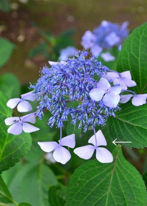 ガクアジサイは花が終わるとガクが裏返ってうつむいてしまうので、西洋アジサイより終わりがわかりやすいでしょう。上を向いていたガクが、花が終わると地面を向きます。またガクの色も全体的に褪せた色になったり、アンティークカラーになったころがガクアジサイの花の終わりの目安です。