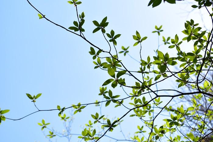 清明は二十四節気の第5節目です。清浄明潔(しょうじょうめいけつ)という言葉の略です。「空気は澄んで、陽の光は明るく万物を照らして、全てがはっきりと鮮やかに見える」頃です。また芽吹いた植物の葉が開き、なんの植物かがわかるようになる季節とも言われています。