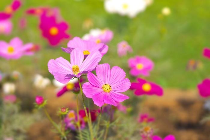 植物名:コスモス 学名:Cosmos bipinnatus 科名:キク科 属名:コスモス属 英名:Cosmos 和名:秋桜 分類:一年草