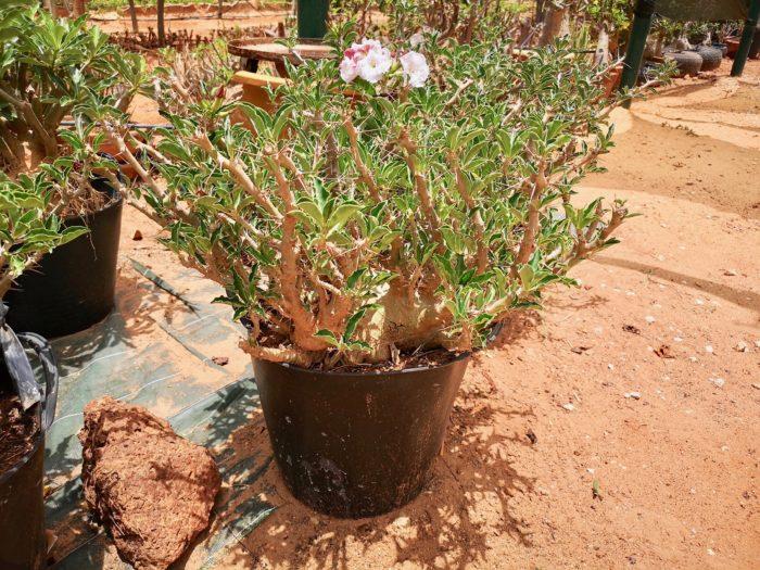 小型でユニークな幹の形状に、かわいい白い花をつけるパキポディウム サンデルシーが限定数栽培されていた。