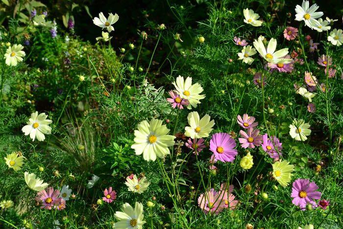 淡いピンクや白の花が印象的なコスモスですが、他にも様々な色の花を咲かせます。コスモスの多様な花色を紹介します。