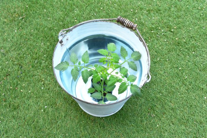 まずは、バケツに水を用意して、苗を入れます。苗にしっかり水を吸収させます。
