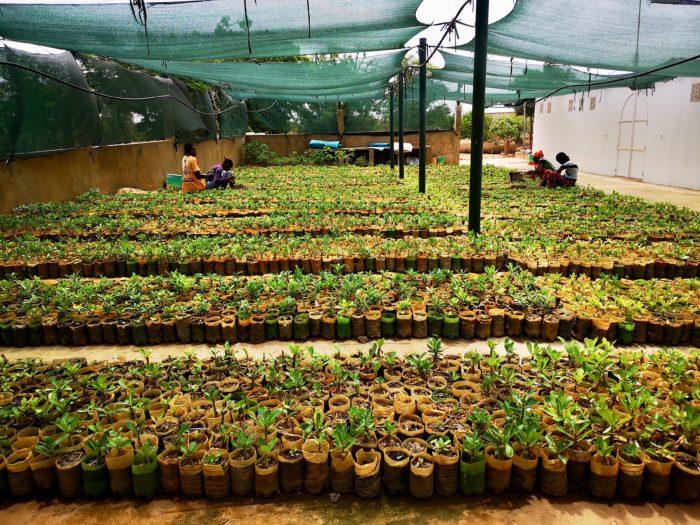 私は日本から持参したお土産を渡して感謝の意を伝え、彼らが出してくれたコーヒーをいただきながら、出荷している植物の説明をしてもらった。まずは事務所近くの作業場で出荷準備をしているバオバブの苗を拝見した。