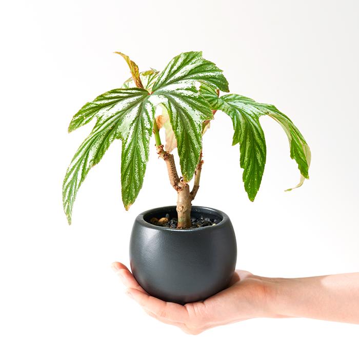 ベゴニア ミニ観葉植物