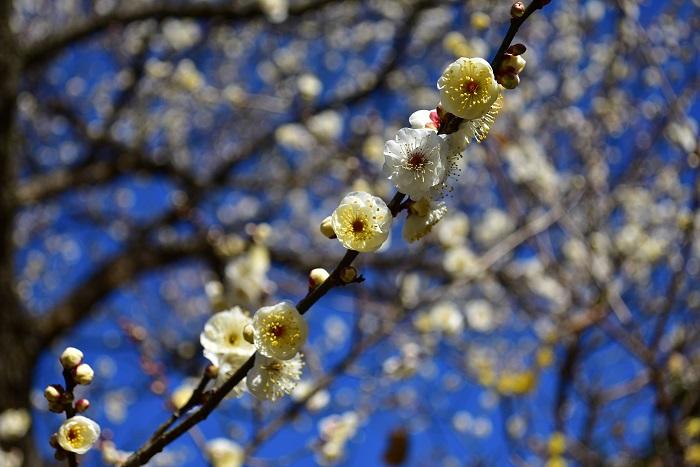 立春のころに咲く花 梅