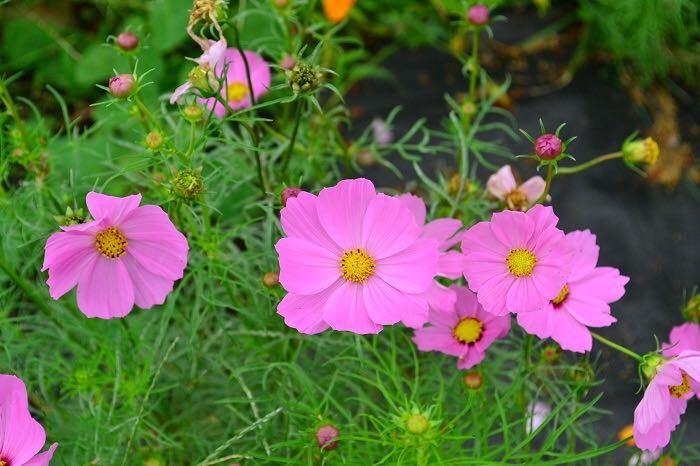 コスモスの名前の由来は、「装り」、「美しい」などの意味を持つギリシャ語の「kosmos」からきています。コスモスの花色が美しいことにちなんで、マドリッドの王立植物園長カバニリェス神父が名付けたとされています。