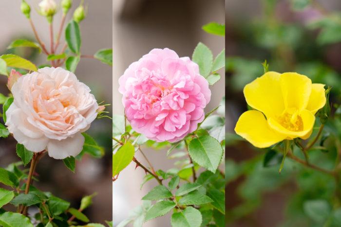 今回使用するバラは、フルーリーテラスコレクションから白系の「ステファニー グッテンベルク」、ピンク系の「オーキッド ロマンス」、黄色系の「リモンチェッロ」の3品種。通常の園芸店で販売されているのと同じ6号サイズの苗を使います。