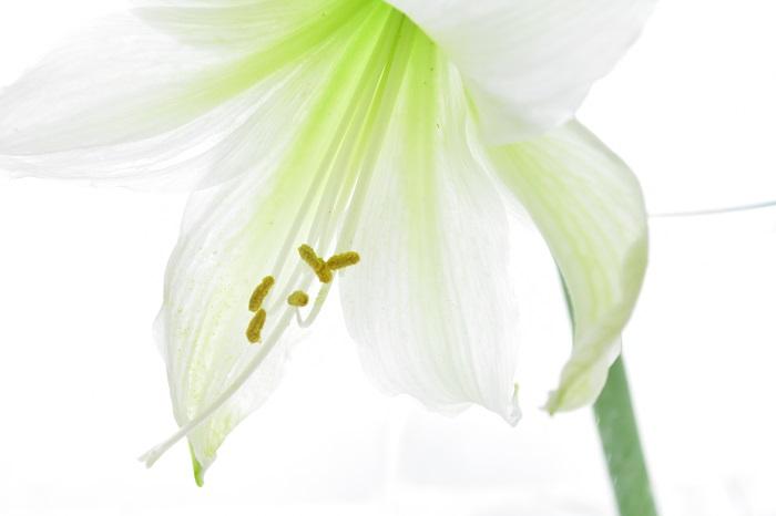 アマリリスの育て方や飾り方について紹介しました。大きく独特な花が魅力的なアマリリスの花。色や咲き方にもたくさんの種類があります。