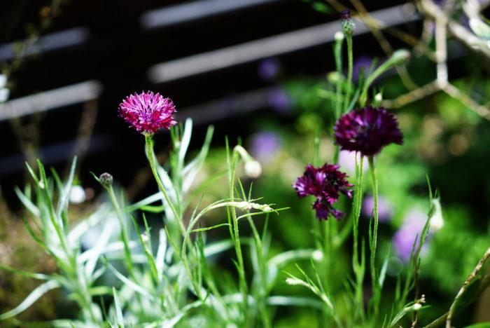 我が家の草花も、初夏になり生長が一段と進んでいます。今、綺麗に咲いているのは、今年の春先に植えたボルドーカラーのセントーレア。