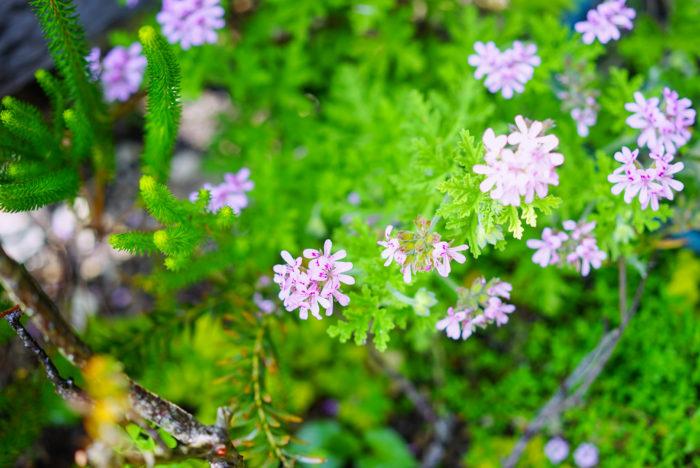 可愛らしいピンクの花をつけているハーブのローズゼラニウム。甘くすっきりした香りもとっても癒されます!