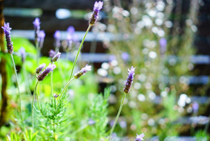 そして、フレンチラベンダーが次から次へと淡い紫色の花をつけています。