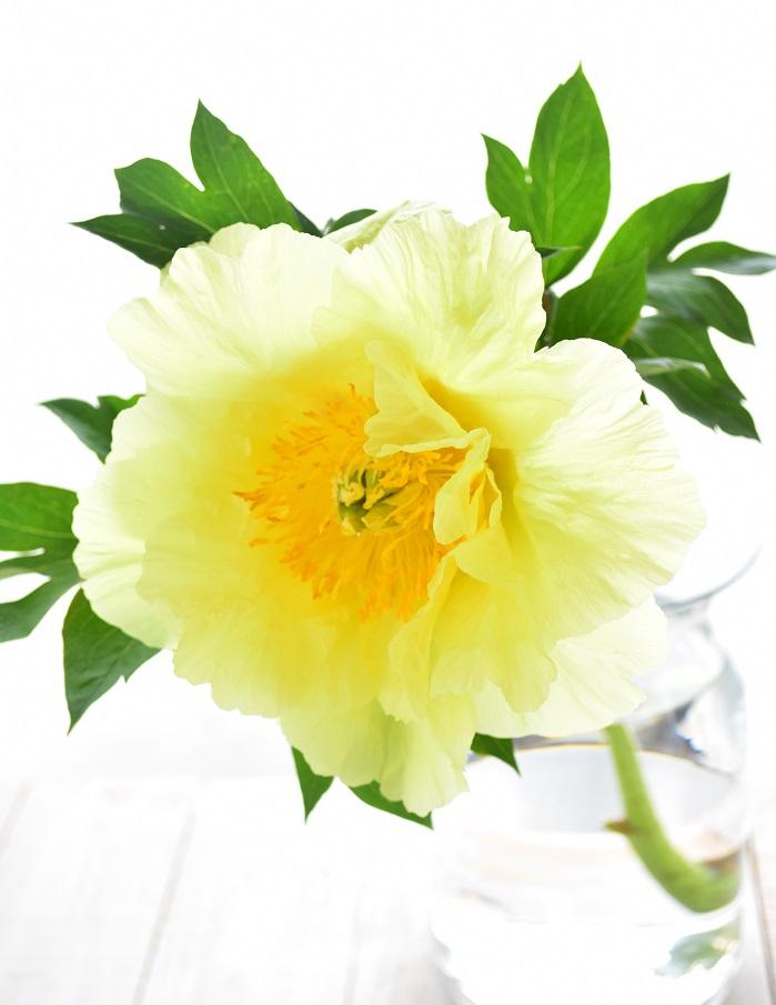つぼみの時からは想像もできない花のサイズに。このハイブリッドシャクヤクは子供の頭くらいのサイズでした。迫力です。