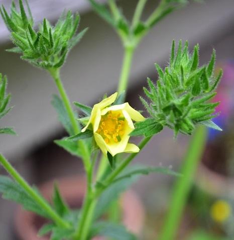 春にクリームイエローの花が開花します。ポテンティラ・スルフレアの花は、1本の茎が枝分かれしてたくさんの花がついている形状です。種を採る目的がない場合は、終わった花のみ摘み取り、その茎の花の開花がすべて終わったら、花茎を根元で剪定しましょう。