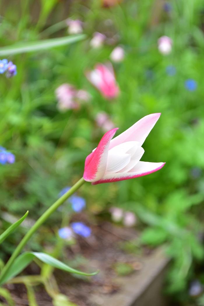 原種系チューリップ・ペパーミントスティック  ちなみに花はこちら。  原種系の中ではスレンダーで背丈のあるタイプのチューリップです。
