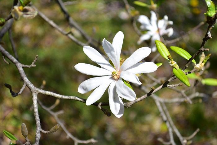 マグノリアとは、マグノリア(モクレン)科の総称です。マグノリア(Magnolia)の名前の由来は、フランスの植物学者マニョール(P.Magnol)の名前によるとされています。