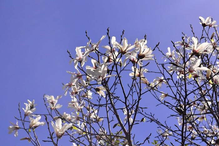 マグノリアは花も香りも魅力がいっぱいの花木です。マグノリアは種類が多いので、好みのマグノリアを見つけるのも楽しみになりそうです。