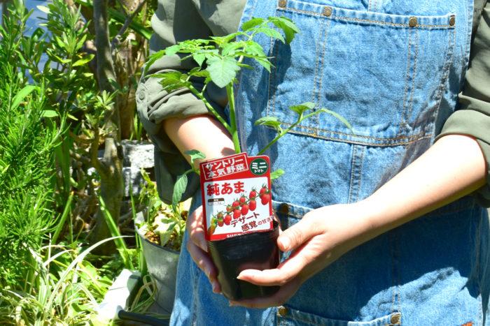今回使用するミニトマトの苗はサントリー本気野菜の「純あま」。  上段までよく実り、収穫数も多いので育てやすい苗です。なんと言っても魅力は果実の甘さ。口に含んだ瞬間、甘さが広がる、 デザート感覚のミニトマトなんです。