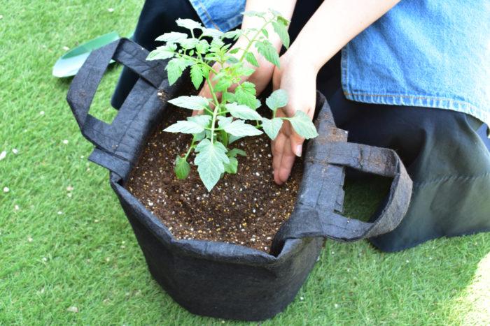 苗の周りの土を少し凹まして、苗にしっかり水が浸透するようにします。