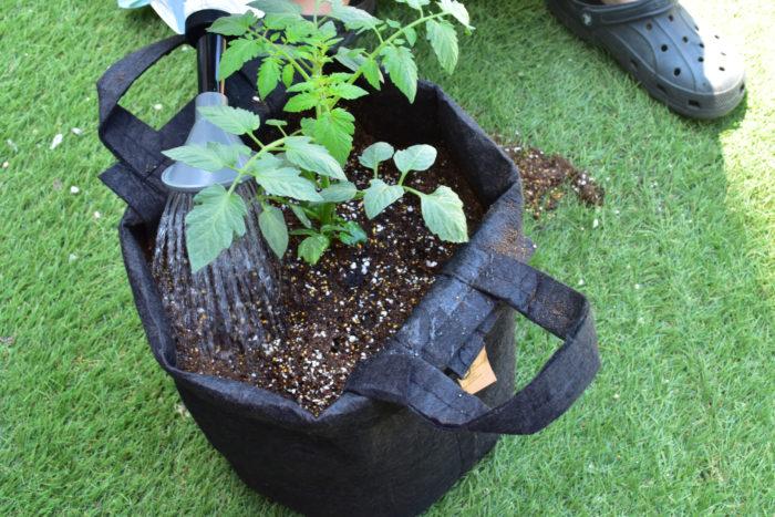 植えたばかりのミニトマトの苗は土に活着するまでに少し時間がかかります。根が乾燥してしまわないためにも、植え付けから1週間位は毎日水を与えます。