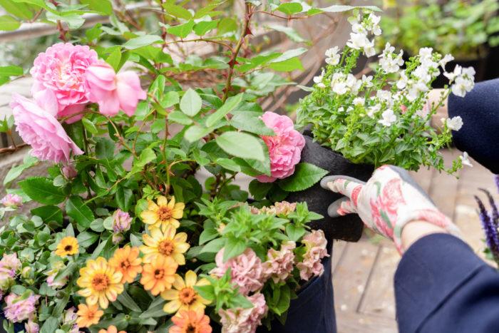 4.草花を植えたルーツポーチを、バラが植えてある大きなルーツポーチに入れていって…