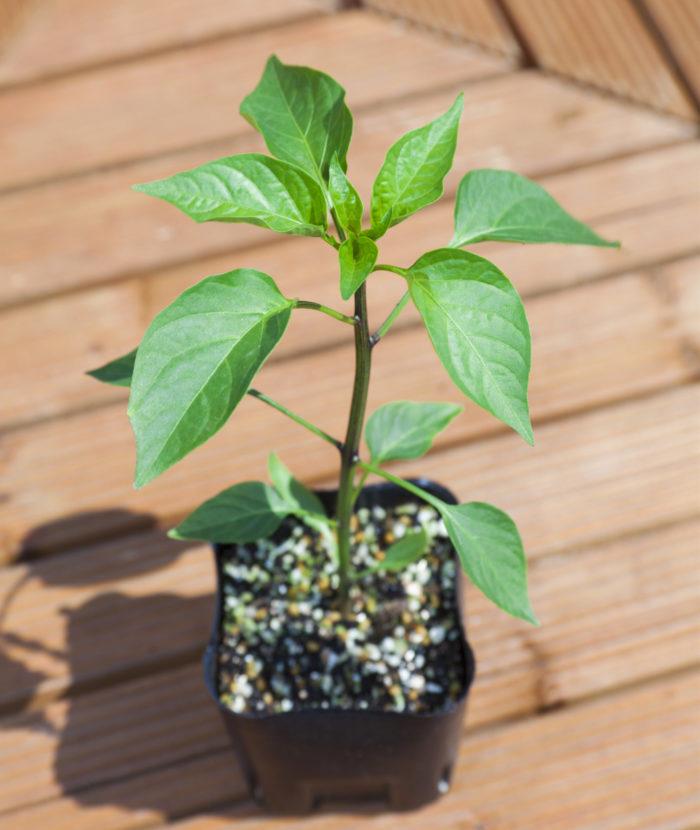 こどもピーマンは、家庭菜園用の苗も売られているので、家庭で気軽に栽培することができます。