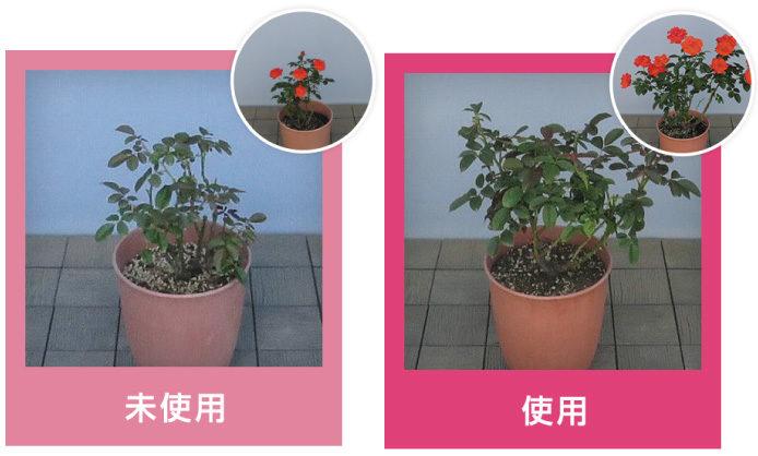 こちらはバラでストレスブロックを未使用/使用した場合の比較写真。どちらも6月下旬に植え付けをしてから、夏を超えて9月上旬の様子です。使用した方のバラは一回り大きく、葉もいきいきと茂っています。10月下旬の開花期には丸写真のように花付きに大きな差がでました。
