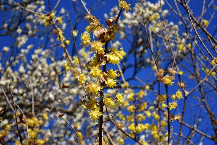 ロウバイはロウバイ科の中国原産の落葉低木です。初春に蝋(ロウ)でコーティングしたような質感の淡い黄色の花を咲かせ、花には芳香があります。蝋梅と名がついていますが、梅の仲間ではありません。花の少ない1月~2月頃に淡い黄色の小花を枝の先に咲かせ、葉は花の後に芽吹きます。
