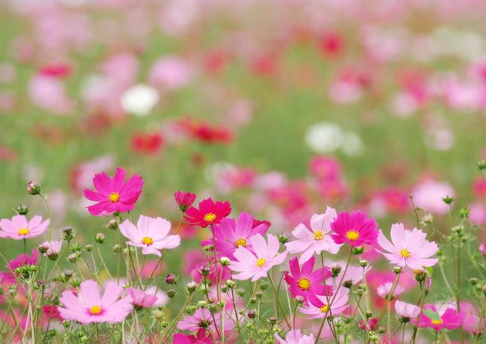 見ているだけで心が和むようなコスモスの花を育てたり、飾ったりして、もっと身近に感じてみませんか。
