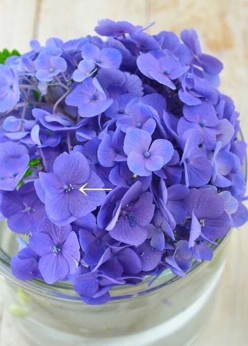 西洋アジサイの花の終わりは、ガクの中に隠れている小さな花が開き、全体的にガクの色が褪せたころが花の終わりの目安。