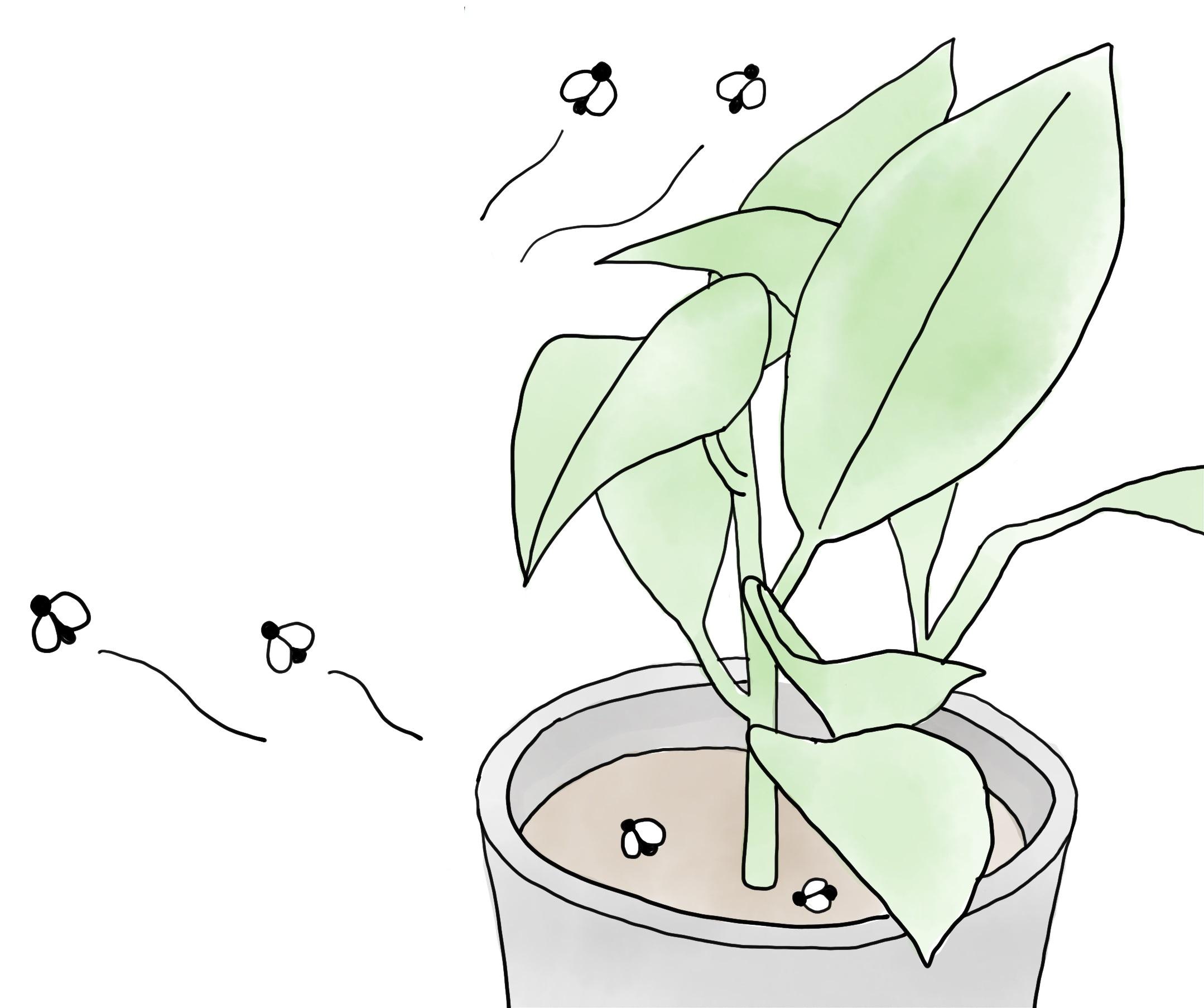 コバエは、観葉植物自体に発生するわけではなく、有機肥料や培養土に含まれる発酵した木片や葉など有機物を餌として発生します。日当たりが悪く、風通しも悪い状態で土の表面を常に湿った状態にしておくと、腐った有機物をエサとするコバエの幼虫が生育しやすい環境になります。クロバネキノコバエの幼虫は有機物に発生した菌や、植物自体も食べてしまうので、大量発生すると植物の生育に影響が出てしまい、不快なだけでなくやっかいな害虫です。