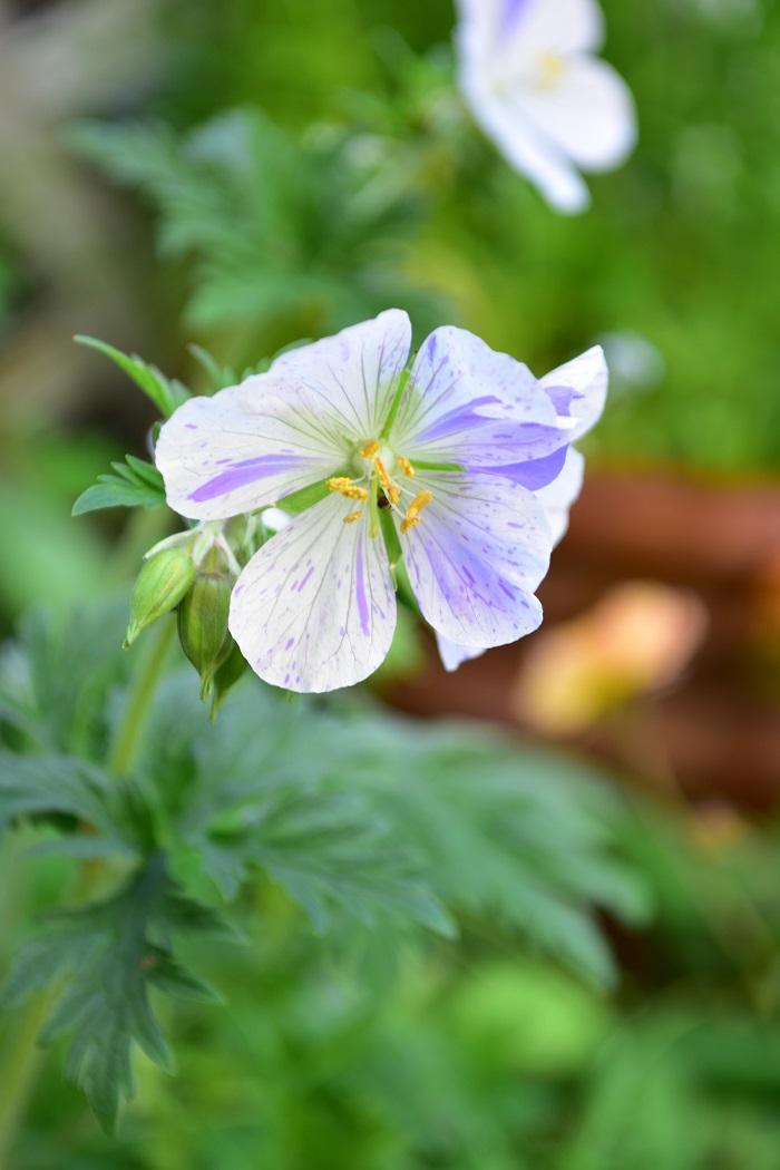 絞り模様の白と淡い紫色は一定ではなく、咲く花ごとに違う色合いなので日ごとに開花する花ひとつひとつを見るのも楽しみなゲラニウムです。