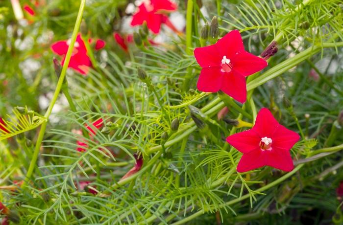科名:ヒルガオ科 分類:つる性一年草 ルコウソウは小さなラッパのような形状の花を咲かせる一年草のつる植物です。花色は赤、白、オレンジ、ピンクなどがあります。葉は糸のように細く、鳥の羽のように華奢で小さいので、風をよく通します。