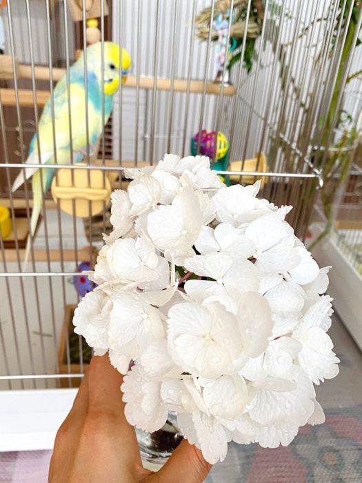 真っ白の可憐なアジサイは2羽のイメージにぴったり。  今日も植物と共に暮らすセキセイインコの、はぴちゃんとるいぱちちゃんでした♪