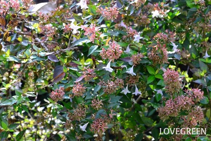 アベリアは性質が丈夫で、特別な手入れをしなくても生長する、手入れが簡単な植物です。とても長く咲き続けるのも特徴のひとつです。