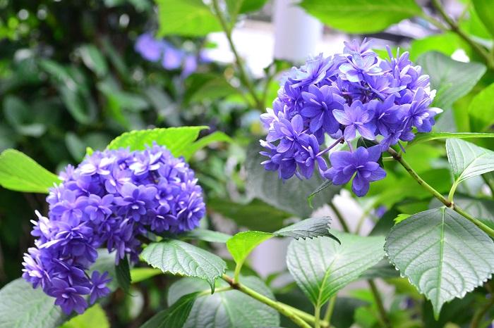 6月の花と言えばアジサイ。アジサイ科の落葉低木のアジサイは、もともとはガクアジサイが日本原産の植物でしたが、西洋にわたり西洋アジサイとして人気が出て、日本に逆輸入されてきました。最近は西洋アジサイ、ガクアジサイともに、品種、形、色の種類も豊富にあり、毎年、新品種が登場します。主に夏の前半の花ですが、一部の品種では四季咲きのアジサイがあり秋にも返り咲く種もあります。