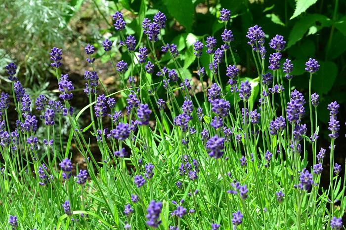 人気のハーブ、ラベンダー。初夏になると、たくさんの花茎を伸ばして開花します。ラベンダーは種類がとても豊富なハーブのひとつ。イングリッシュ系、フレンチ系など、系統によって花の形が違います。  夏から秋まで咲かせたいなら園芸種のレースラベンダーがあります。花が四季咲きなのが特徴ですが、残念ながらラベンダー特有の香りはしません。