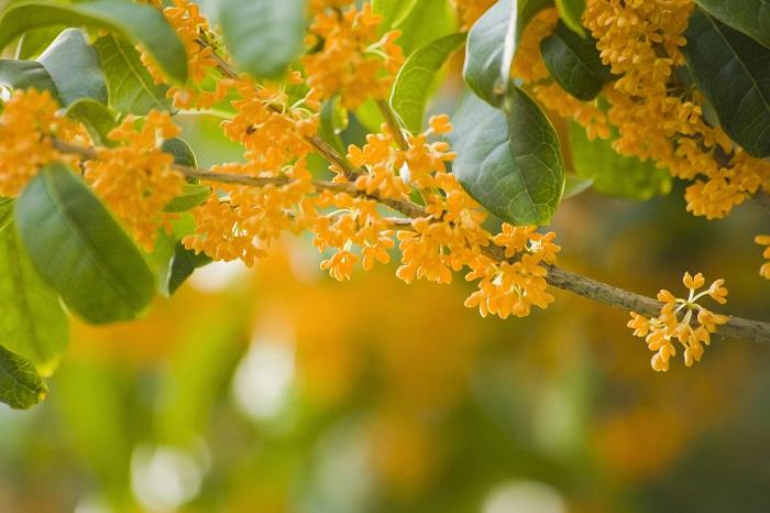 科名:モクセイ科 分類:常緑高木 キンモクセイ(金木犀)は秋にオレンジ色の香りのよい花をたわわに咲かせる庭木です。日本や中国では昔から秋を代表する花木として愛されてきました。