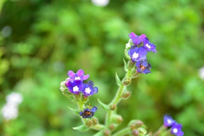 アルカネットは、ムラサキ科の多年草。初夏にとてもきれいな深い青い花が開花します。草丈が50~100cmくらいにはなるので、庭植え向きの草花です。