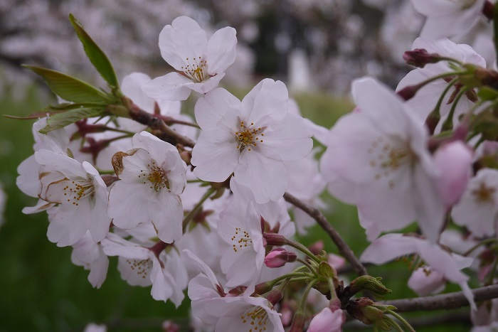 科名:バラ科 分類:落葉高木 桜は日本の春を代表する花です。春に枝いっぱいに花を咲かせる姿はとても優美で人々の目を奪います。 桜にはとてもたくさんの種類があり、有名なソメイヨシノの他にあまり樹高が高くならないカワツザクラや、流れるように枝を枝垂れさせて咲くシダレザクラなども人気です。